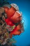 Magnificent Anemone (Heteractis Magnifica), Ras Mohammed Nat'l Pk, Off Sharm El Sheikh, Egypt Fotografie-Druck von Mark Doherty