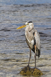 Adult Great Blue Heron (Ardea Herodias Cognata), Cerro Dragon, Santa Cruz Is, Galapagos Is, Ecuador Photographic Print by Michael Nolan