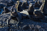 Galapagos Marine Iguanas (Amblyrhynchus Cristatus), Fernandina Island, UNESCO Site, Ecuador Photographic Print by Michael Nolan