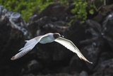 Adult Swallow-Tailed Gull (Creagrus Furcatus), Genovesa Island, Galapagos Islands, Ecuador Photographic Print by Michael Nolan