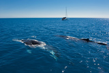 Humpback Whale (Megaptera Novaeangliae) Watching in Harvey Bay, Queensland, Australia, Pacific Photographic Print by Michael Runkel