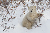 Polar Bear Cub (Ursus Maritimus), Wapusk National Park, Churchill, Hudson Bay, Manitoba, Canada Photographic Print by David Jenkins