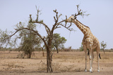 Giraffe in the Park of Koure, 60 Km East of Niamey, Niger Photographic Print by  Godong