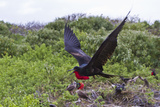 Adult Male Great Frigatebirds (Fregata Minor), Genovesa Island, Galapagos Is, UNESCO Site, Ecuador Photographic Print by Michael Nolan