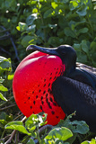 Adult Male Magnificent Frigatebird (Fregata Magnificens), Las Bachas, Santa Cruz Island, Ecuador Photographic Print by Michael Nolan