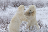 Polar Bears Sparring, Wapusk National Park, Manitoba, Canada, North America Photographic Print by Bhaskar Krishnamurthy