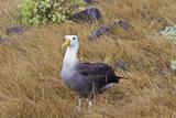 Adult Waved Albatross (Diomedea Irrorata), Espanola Island, Galapagos Isl., UNESCO Site, Ecuador Photographic Print by Michael Nolan