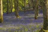 Bluebells in Carstramon Wood, Dumfries and Galloway, Scotland, United Kingdom, Europe Photographic Print by Gary Cook