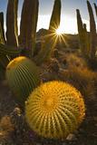Endemic Giant Barrel Cactus, Isla Santa Catalina, Gulf of California (Sea of Cortez), Mexico Fotografisk tryk af Michael Nolan
