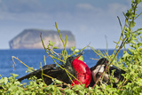 Adult Male Magnificent Frigatebird, North Seymour Island, UNESCO Site, Ecuador Photographic Print by Michael Nolan