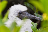 Red-Footed Booby (Sula Sula) Chick, Genovesa Island, Galapagos Islands, Ecuador, South America Photographic Print by Michael Nolan