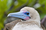 Adult Dark Morph Red-Footed Booby (Sula Sula), Genovesa Island, Galapagos Islands, Ecuador Photographic Print by Michael Nolan