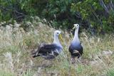 Waved Albatross (Diomedea Irrorata) Courtship Display, Espanola Island, UNESCO Site, Ecuador Photographic Print by Michael Nolan