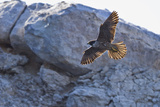 Adult Peregrine Falcon (Falco Peregrinus), Isla Rasa, Gulf of California, Baja California, Mexico Photographic Print by Michael Nolan