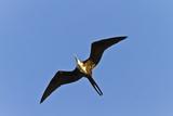 Magnificent Frigatebird (Fregata Magnificens), Punta Pitt, San Cristobal Is, Galapagos Is, Ecuador Photographic Print by Michael Nolan