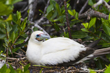 Adult White Morph Red-Footed Booby (Sula Sula), Genovesa Island, Galapagos Islands, Ecuador Photographic Print by Michael Nolan