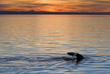 Sperm Whale (Physeter Macrocephalus) at Sunset, Isla San Pedro Martir, Gulf of California, Mexico Photographic Print by Michael Nolan