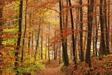 Autumn Forest in the Neckar Valley, Near Villingen-Schwenningen, Baden-Wurttemberg, Germany, Europe Fotografisk tryk af Jochen Schlenker