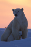 Polar Bear (Ursus Maritimus) and Cub, Wapusk National Park, Churchill, Hudson Bay, Manitoba, Canada Stampa fotografica di David Jenkins