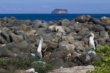 Blue-Footed Booby (Sula Nebouxii) Pair, North Seymour Island, Galapagos Isl., UNESCO Site, Ecuador Photographic Print by Michael Nolan