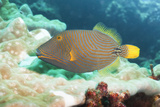 Orange Lined Triggerfish (Balistapus Undulatus), Southern Thailand, Andaman Sea, Indian Ocean, Asia Photographic Print by Andrew Stewart