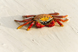 Sally Lightfoot Crab (Grapsus Grapsus), Las Bachas, Santa Cruz Island, Galapagos Islands, Ecuador Photographic Print by Michael Nolan