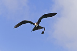 Juvenile Magnificent Frigatebird Attacking an Elliot&#39;s Storm Petrel, San Cristobal Island, Ecuador Photographic Print by Michael Nolan