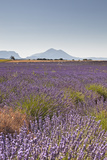 Lavender Growing on the Plateau de Valensole in Provence, France, Europe Photographic Print by Julian Elliott