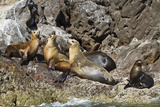 California Sea Lions, Los Islotes, Baja California Sur, Gulf of California, Mexico Photographic Print by Michael Nolan