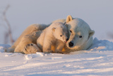 Polar Bear (Ursus Maritimus) and Cub, Wapusk National Park, Churchill, Hudson Bay, Manitoba, Canada Fotografisk tryk af David Jenkins