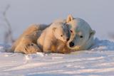 Polar Bear (Ursus Maritimus) and Cub, Wapusk National Park, Churchill, Hudson Bay, Manitoba, Canada Reprodukcja zdjęcia autor David Jenkins