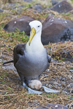 Adult Waved Albatross (Diomedea Irrorata) with Single Egg, Espanola Island, Galapagos Isl., Ecuador Photographic Print by Michael Nolan