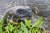 Wild Galapagos Tortoise (Geochelone Elephantopus), Santa Cruz Island, UNESCO Site, Ecuador Photographic Print by Michael Nolan