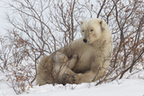 Polar Bear Nursing Cub (Ursus Maritimus) , Wapusk Nat'l Pk, Churchill, Hudson Bay, Manitoba, Canada Photographic Print by David Jenkins