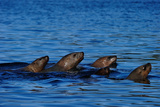 Sea Lions Moving Together in Sea, Great Bear Rainforest, British Columbia, Canada, North America Photographic Print by Bhaskar Krishnamurthy