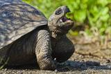 Wild Galapagos Tortoise (Geochelone Elephantopus), Urbina Bay, Isabela Island, UNESCO Site, Ecuador Photographic Print by Michael Nolan