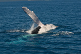 Humpback Whale (Megaptera Novaeangliae) in Harvey Bay, Queensland, Australia, Pacific Photographic Print by Michael Runkel