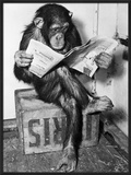 Chimpanzee Reading Newspaper Framed Photographic Print by  Bettmann