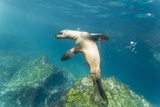 Galapagos Sea Lion (Zalophus Wollebaeki) Underwater, Tagus Cove, Isabela Is, Galapagos Is, Ecuador Photographic Print by Michael Nolan