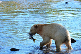 Spirit Bear (Kermode Bear) with Salmon Catch, Great Bear Rainforest, British Columbia, Canada Photographic Print by Bhaskar Krishnamurthy