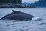 Humpback Whale Dives in the Pacific, Great Bear Rainforest, British Columbia, Canada, North America Photographic Print by Bhaskar Krishnamurthy