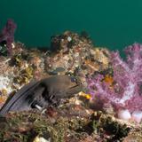 Giant Moray Eel (Gymnothorax Javanicus), Southernthailand, Andaman Sea, Indian Ocean Fotografie-Druck von Andrew Stewart