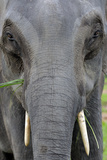 Asian Elephant, Kaziranga, Assam, India, Asia Photographic Print by Bhaskar Krishnamurthy