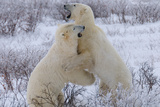 Polar Bears Sparring, Churchill, Hudson Bay, Manitoba, Canada, North America Photographic Print by Bhaskar Krishnamurthy