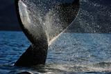 Humpback Whale Tail, Great Bear Rainforest, British Columbia, Canada, North America Photographic Print by Bhaskar Krishnamurthy