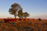 Cattle in the Late Afternoon Light, Carnarvon Gorge, Queensland, Australia, Pacific Photographic Print by Michael Runkel