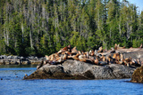 Sea Lions in Great Bear Rainforest, British Columbia, Canada, North America Photographic Print by Bhaskar Krishnamurthy