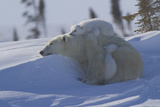 Polar Bear (Ursus Maritimus) and Cubs, Wapusk National Park, Churchill, Hudson Bay, Canada Stampa fotografica di David Jenkins