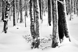 Snow Trees Photographic Print by Craig Howarth