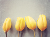 Four Yellow Tulips Against a Textured Grey Blue Background Photographic Print by Susannah Tucker